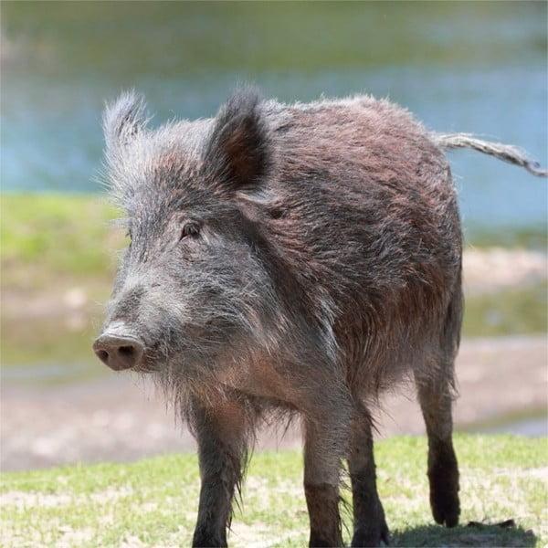 Poduszka Animals Boar, 42x42 cm