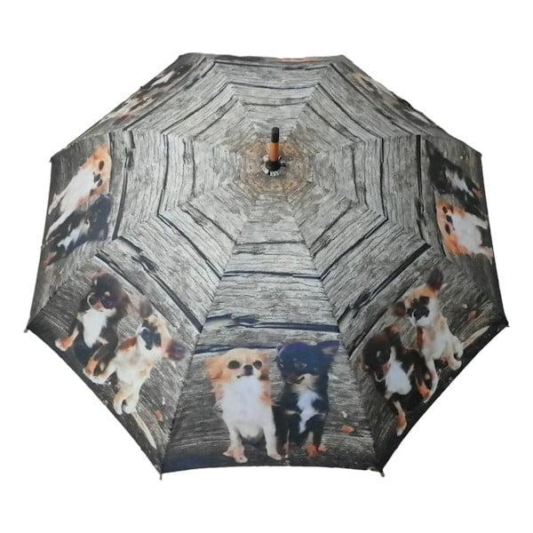 Parasol Chihuahua Family