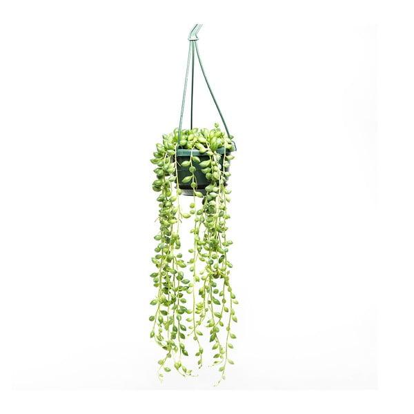Doniczka wisząca z rośliną String of Peas