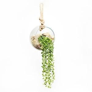 Wiszące terrarium z roślinami String of Peas
