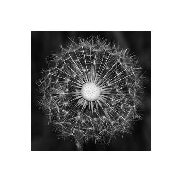 Zestaw obrazów na szkle Dmuchawiec I, 30x30 cm, 2 szt