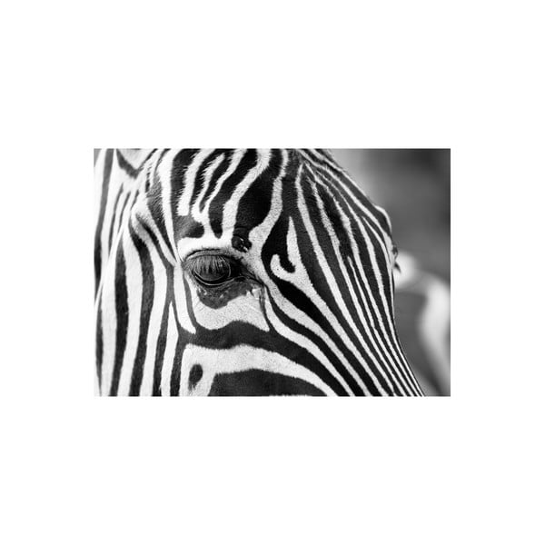 Obraz Zebra, 80x115 cm