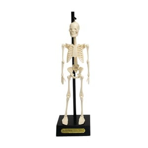 Model szkieletu Rex London Anatomical