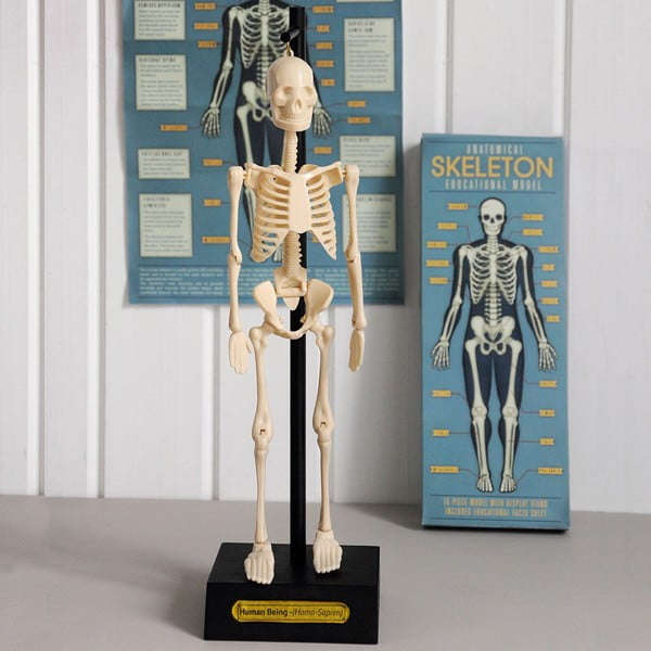 Model szkieletu Rex London Anatomical
