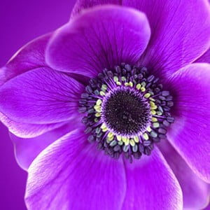 Obraz na szkle Fioletowy kwiat, 50x50 cm
