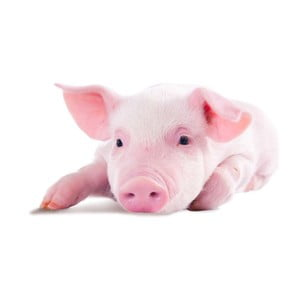 Poduszka Animals Pig, 42x42 cm