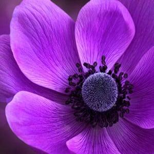 Obraz na szkle Fioletowy kwiat II, 50x50 cm